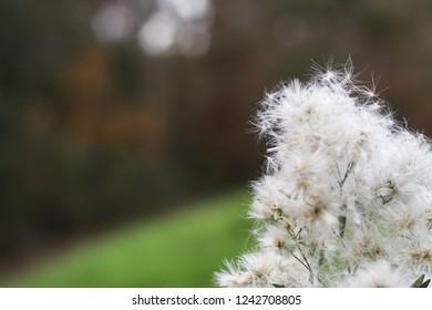 Dandelion flower at the park - Shutterstock ID 1242708805