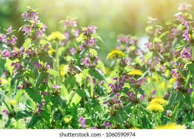 Dandelion flower and purple flowers, flowering wild flowers in spring (springtime)