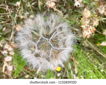 Dandelion flower, Seaton Carew Sand Dunes, Hartlepool, England