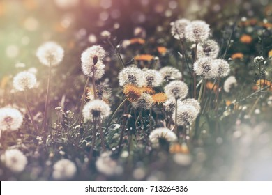 Dandelion flower and dandelion seed (fluffy blow ball), selective and soft focus on dandelion seeds