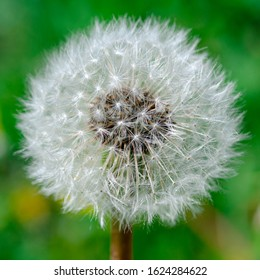dandelion flower with seeds ball close up in blue bright turquoise background horizontal view