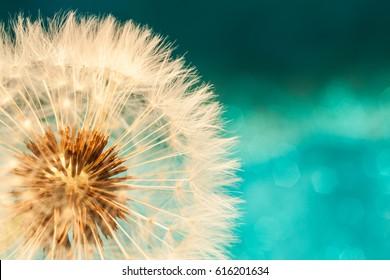 Kronenblume mit Samen-Ball, Nahaufnahme auf blauem, helltürkisem Hintergrund, waagerechter Blick
