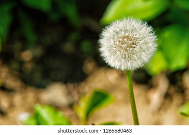Dandelion flower with seeds on natural background. Blowball on sunny day. Spring or summer season. Pollen, allergic reactions. Nature, beauty, environment.