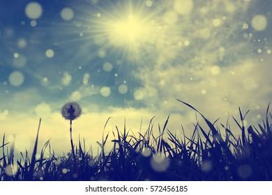 Dandelion flower and spring / summer blue sky with sunshine