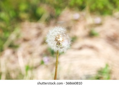 Dandelion, Dandelion flower in spring time,, soft focus