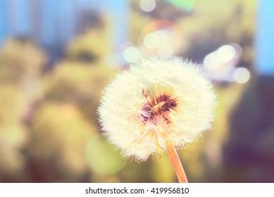 Dandelion flower in summer. Filtered image