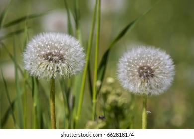 Dandelion flower white fluff and green grass field background in summer day light