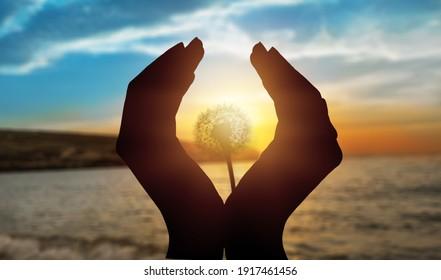 A dandelion flower in young human's hands at sunset or sunrise light landscape.