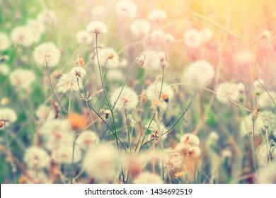 Dandelion flowers blossom in summer at sunset. Pastel color natural background.