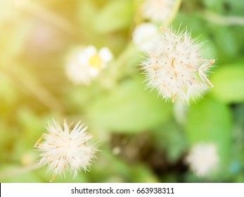 dandelion flowers close up with sunlight background