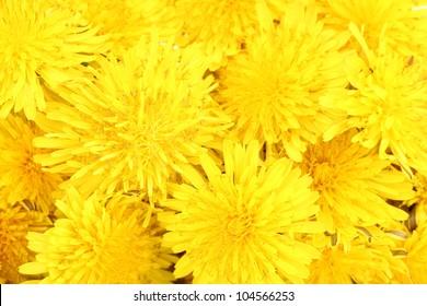 Dandelion flowers close-up