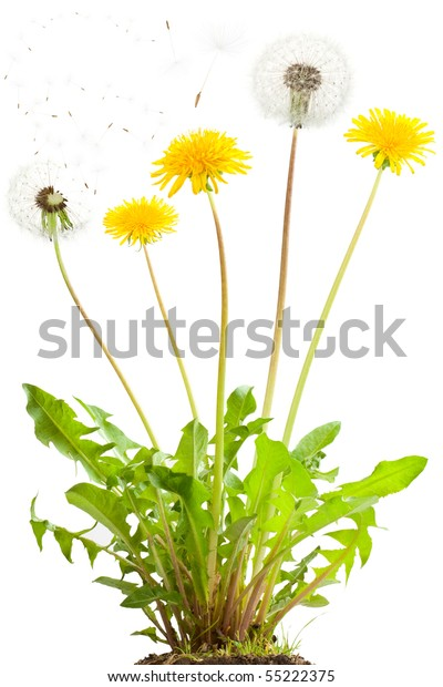 Dandelion flowers and flying seeds. Isolated on white.