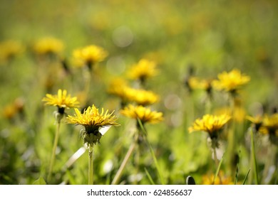 Dandelion flowers grow in the spring in the glade bright and yellow