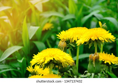 Dandelion flowers growing on spring field. Blooming Bright Yellow Dandelions closeup. Sun flare