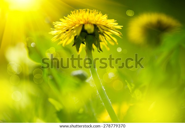 Dandelion flowers growing on spring field. Blooming Bright Yellow Dandelions closeup. Sun flare