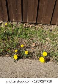 Dandelion flowers in the lawn, weeds in the garden