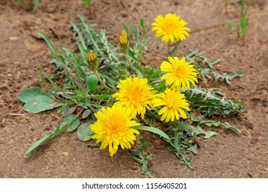 Dandelion flowers in nature