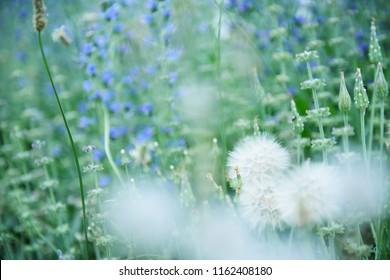 Dandelion flowers. Summer nature beautiful background.