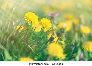 Dandelion flowers - yellow flowers in spring