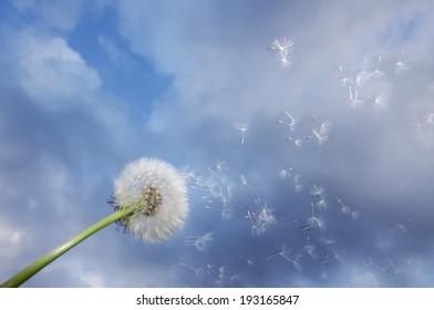 Dandelion fluff blown from wind