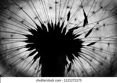 dandelion fluff BW