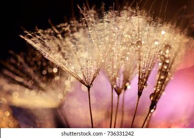 dandelion fluff with dew