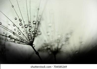 dandelion fluff with dew  BW