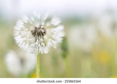 Dandelion fluff in the meadow