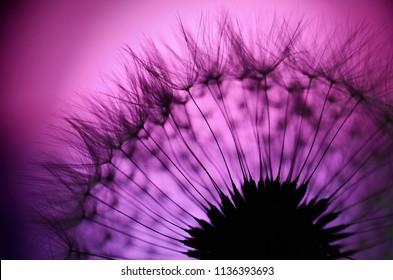 dandelion fluff on the pink background