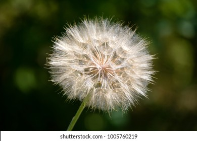 Dandelion. Dandelion fluff. Dandelion tranquil abstract close up art background