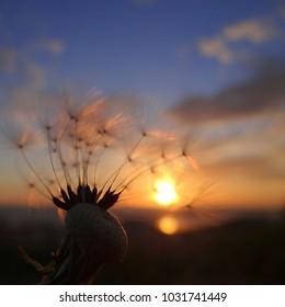 Dandelion fluffs at the evening sun.