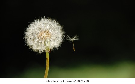 dandelion and its flying seed isolated in black background