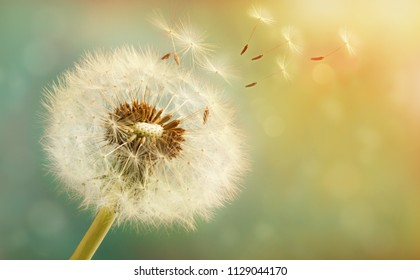 Dandelion with flying seeds on a beautiful luminous background with a bokeh