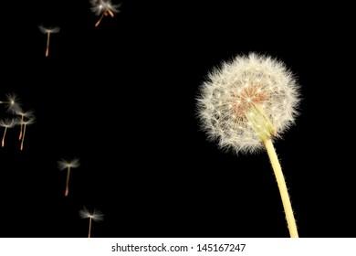 Dandelion and flying seeds on black background
