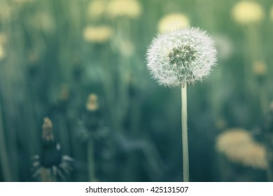 The dandelion in the forest