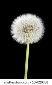 Dandelion in front of a black background