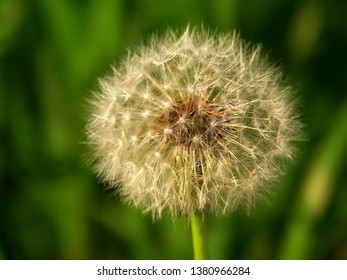Dandelion full of seeds in northern Illinois