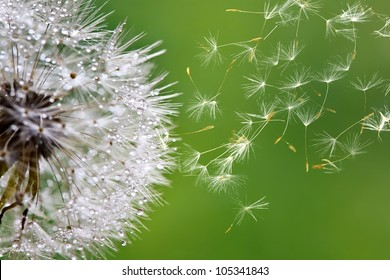 dandelion fuzz swelled drops