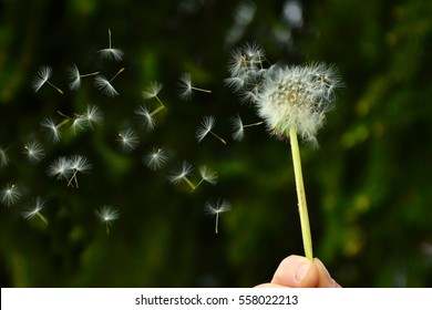 Dandelion fuzz swelled drops in the air - spring photo with space for your montage