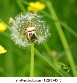 A dandelion gone to seed is alone in a meadow of buttercups. Half of its seeds are missing, blown away by the wind.