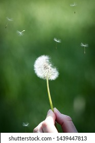 dandelion gone to seed with seeds floating in air being held by a hand, green muted background