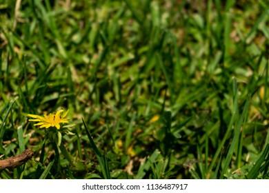 Dandelion in the grass background