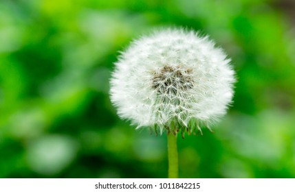 Dandelion in  green grass