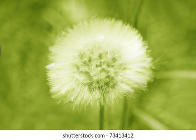dandelion green tones