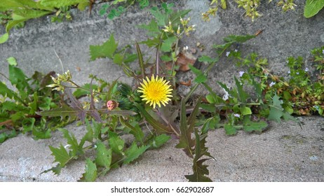 Dandelion growing  in a crack in the concrete