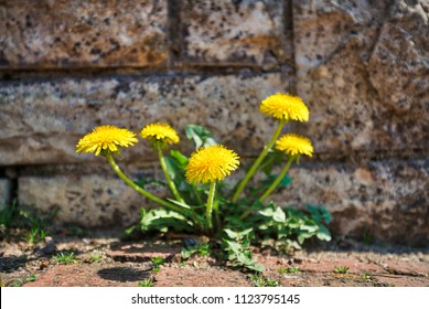 dandelion growing out of a wall