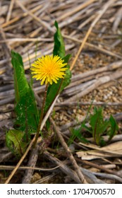 dandelion growing in the sand