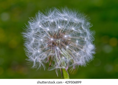 Dandelion head that has gone to seed against a blurred field background