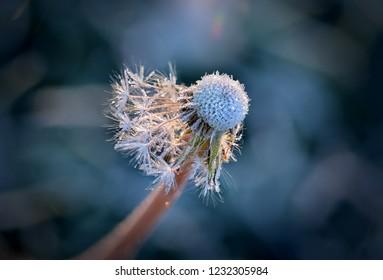 Dandelion with hoarfrost in backlight