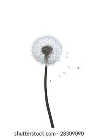 dandelion isolated